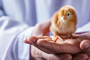 Poultry farmer holding chick.