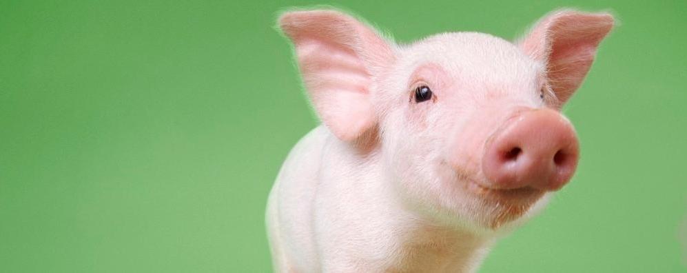 Обзор свиного рынка ЕС: Котировки немного выросли